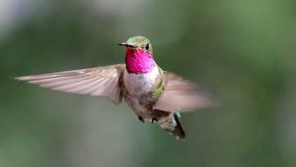 Los colibríes ven colores que los humanos no podemos ni imaginar