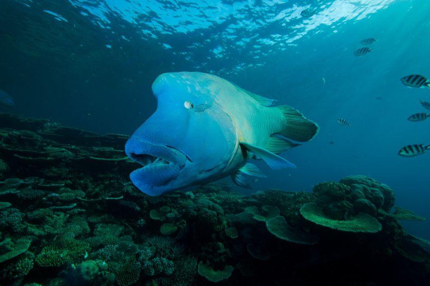 El pez napoleón, «rey de los arrecifes», está desapareciendo