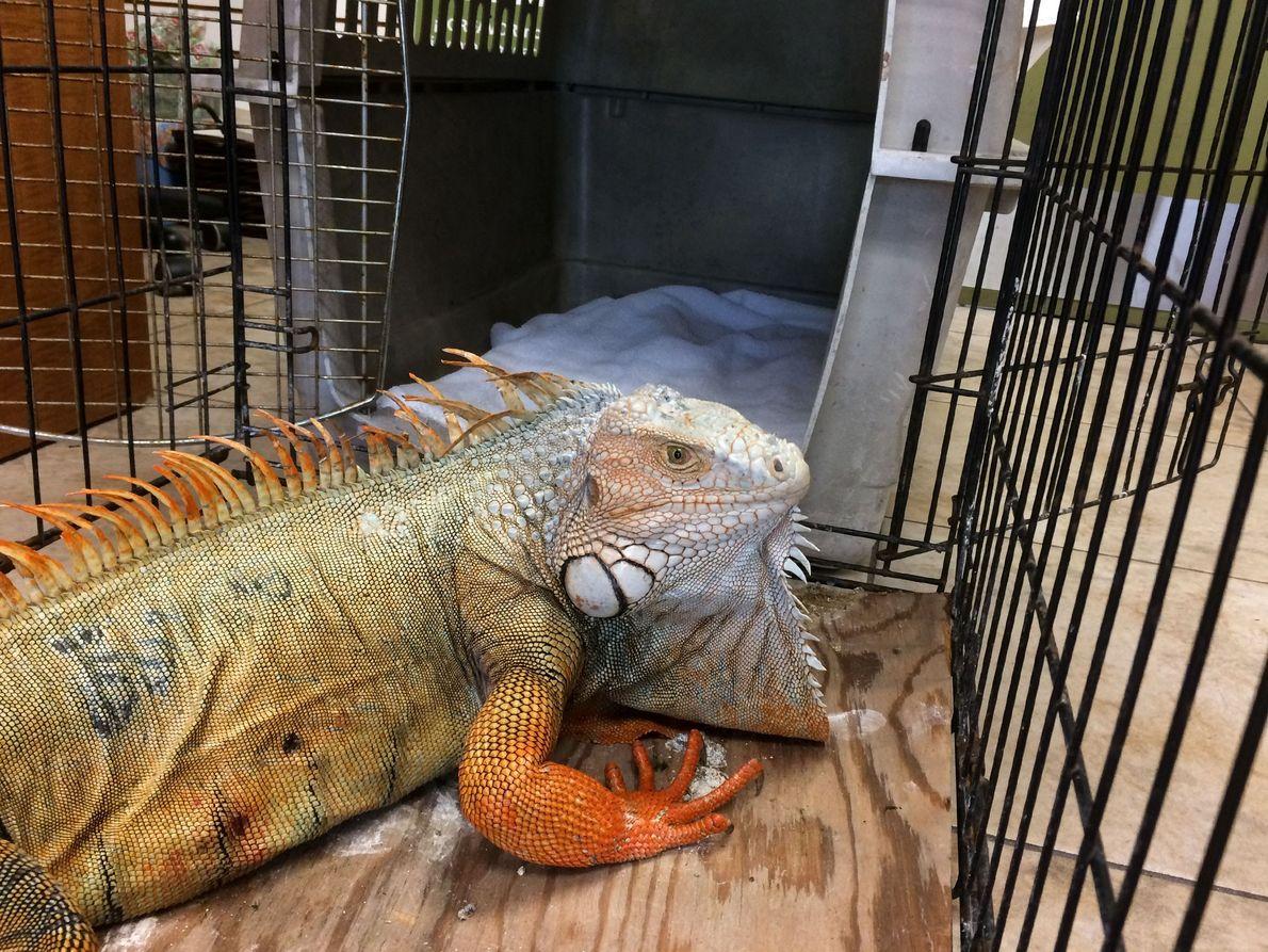 Godzilla no tiene fracturas, pero todavía no está fuera de peligro. Aún corre el riesgo de …