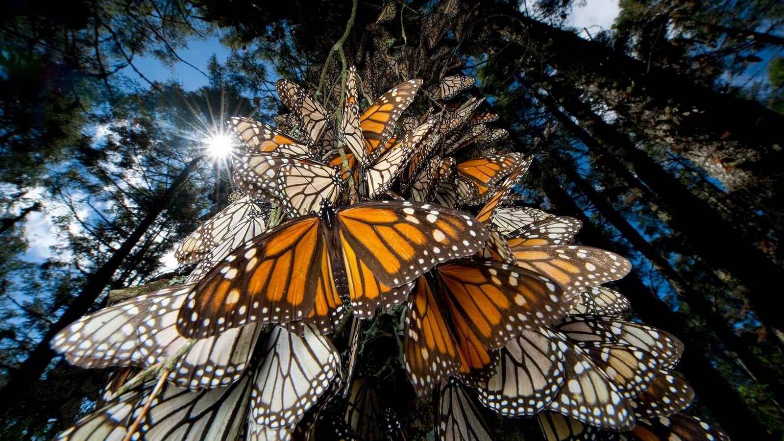 Mariposas monarca