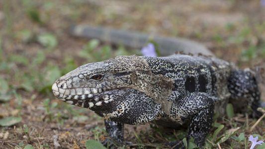 Liberar mascotas exóticas puede convertirlas en especies invasoras