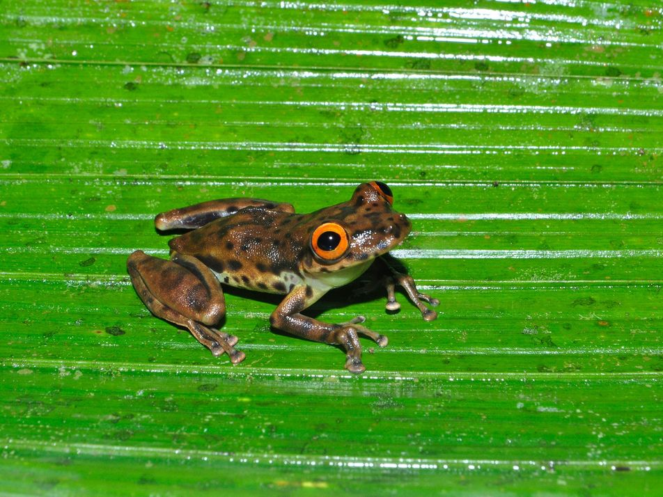 Descubierta nueva especie de rana arborícola en una carretera abandonada