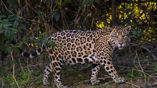 Vinculan el tráfico de jaguares a las inversiones chinas en Sudamérica