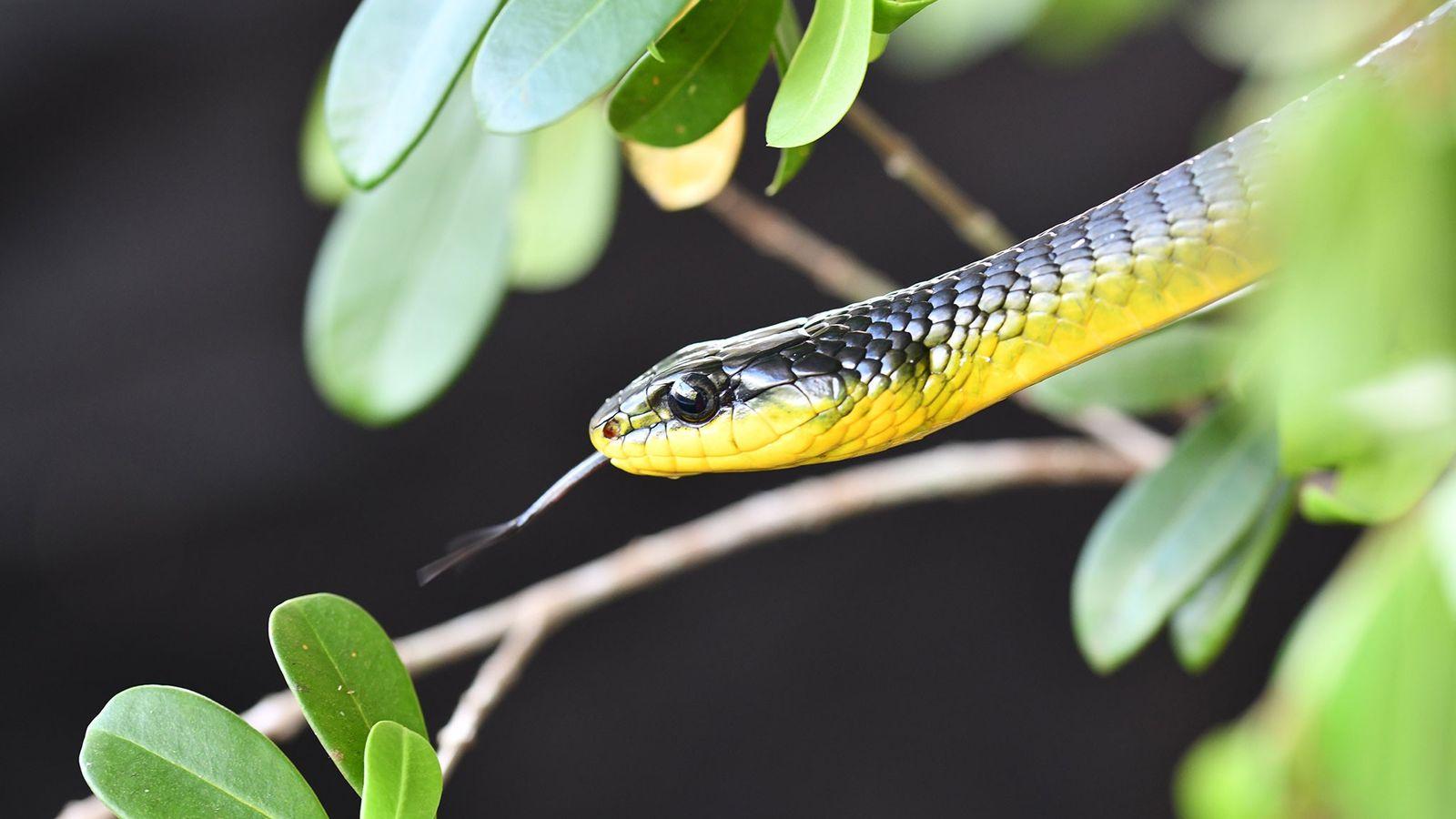 Serpiente Dendrelaphis