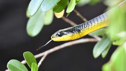Estas serpientes pueden saltar y los científicos quieren saber por qué
