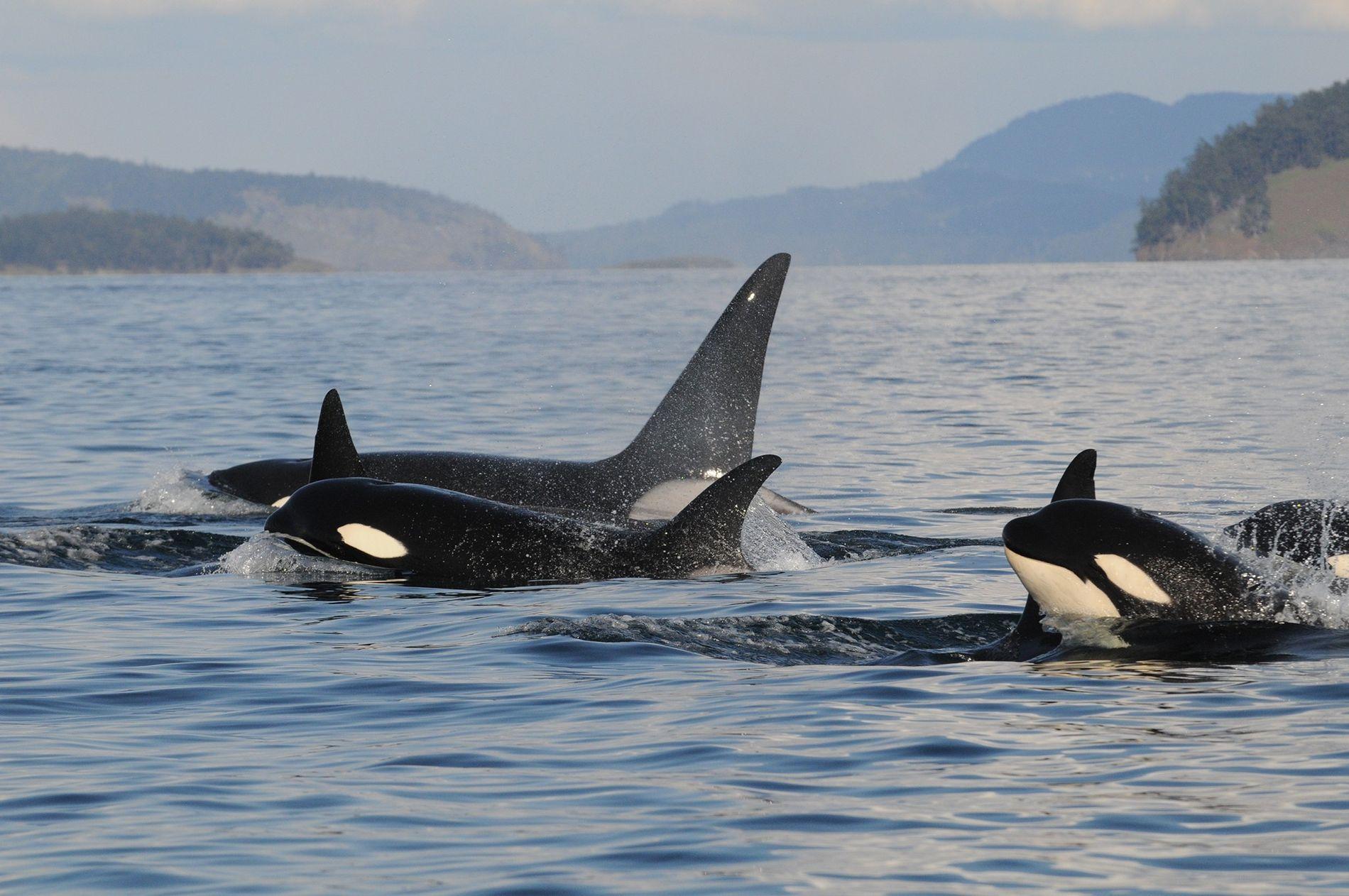 Una familia de orcas
