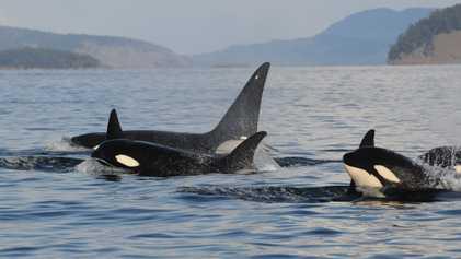 Las crías de orca viven más si tienen abuela