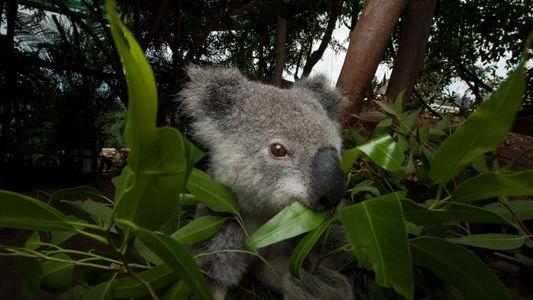El genoma de los koalas nos desvela cómo se alimentan de hojas tóxicas