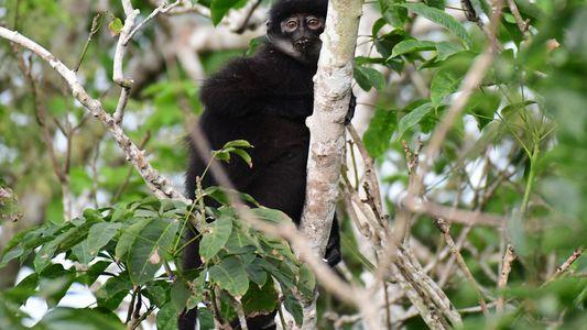 Descubren tres nuevas especies de mono, dos de ellas amenazadas