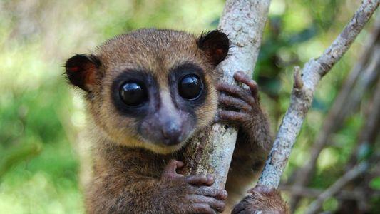 Descubierta una nueva especie de lémur enano en Madagascar