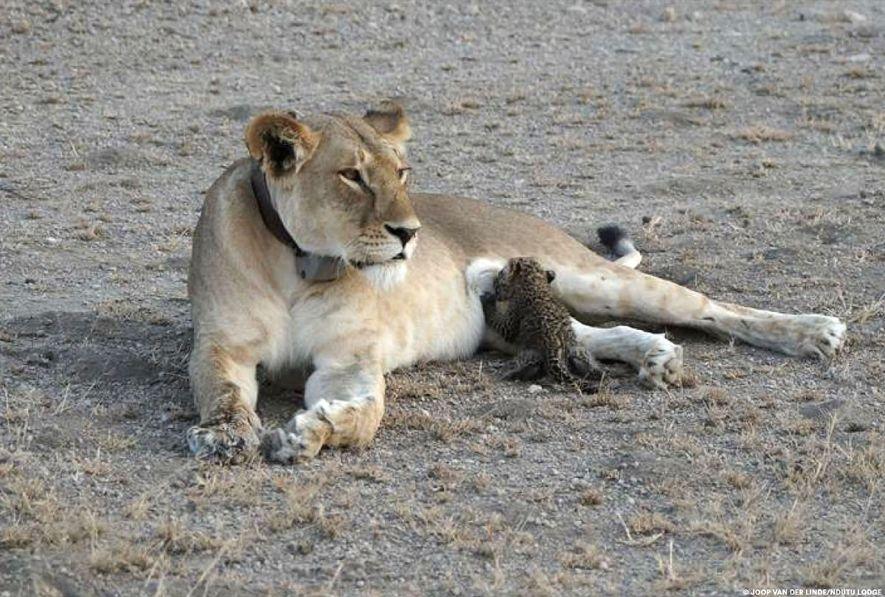 Un leopardo de solo unas semanas de edad mama de una leona en Tanzania.