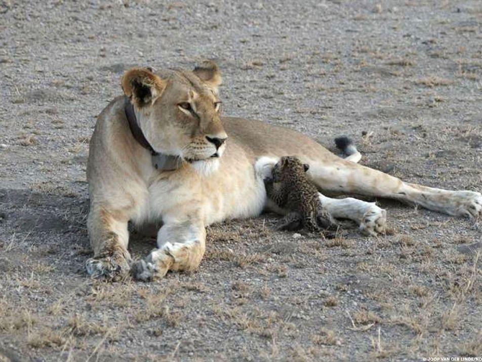 Imágenes sin precedentes: una leona amamantando a una cría de leopardo