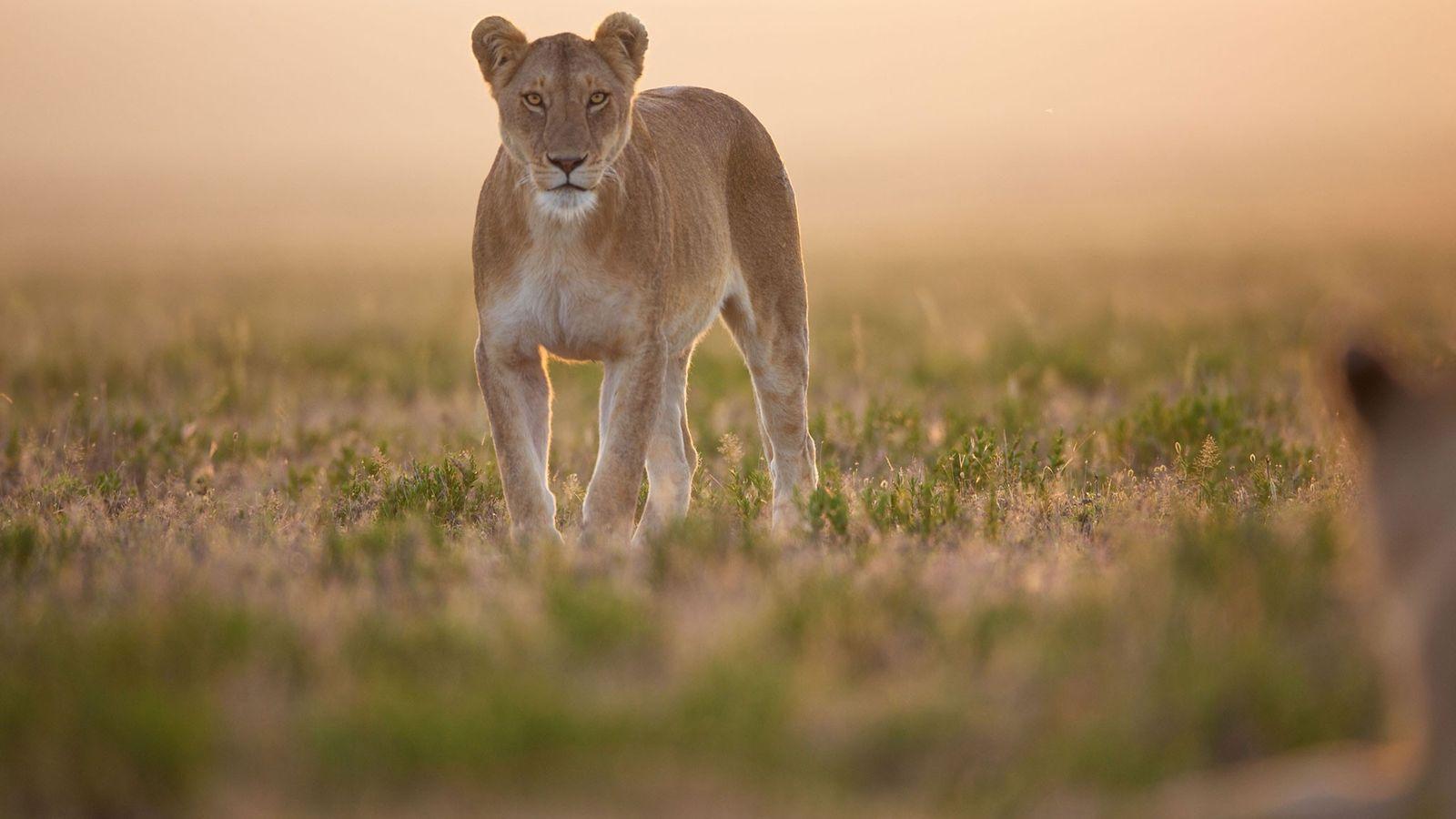 León africano