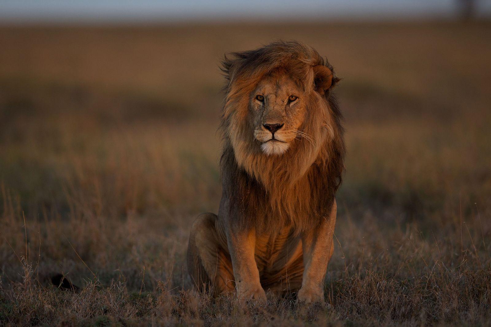Un león macho adulto