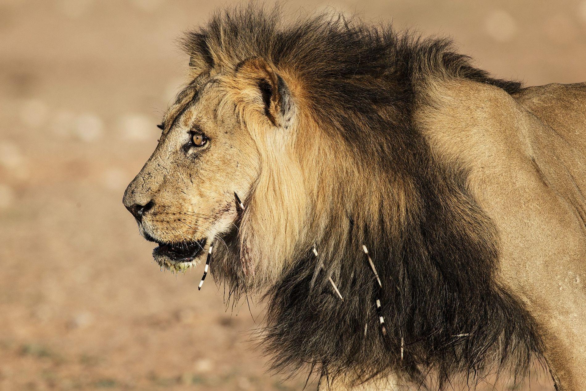 Un león con púas de puercoespín