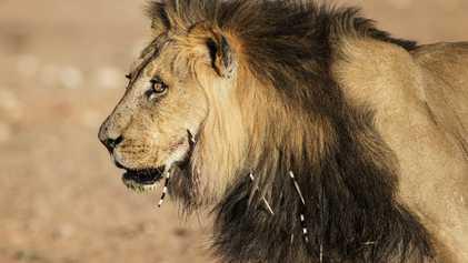Cuando los leones atacan a puercoespines, los humanos sufren consecuencias imprevistas