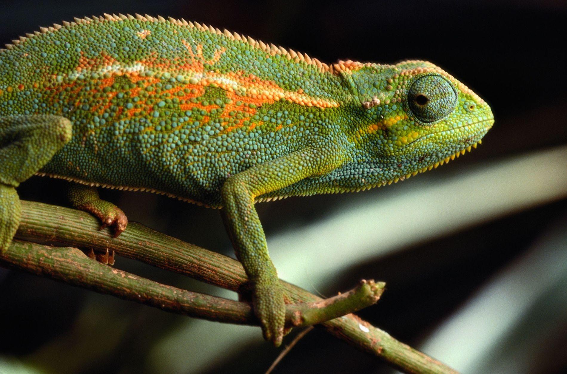 Los camaleones fueron algunos de los lagartos acusados de espiar instalaciones nucleares iraníes.