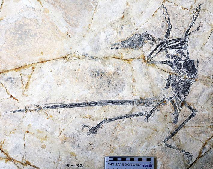 Fósil de Microraptor