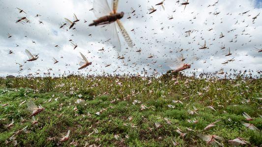 La plaga de langostas que afecta al África oriental podría deberse al cambio climático
