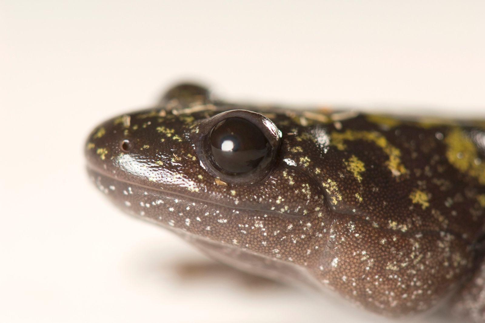 Salamandra de dedos largos