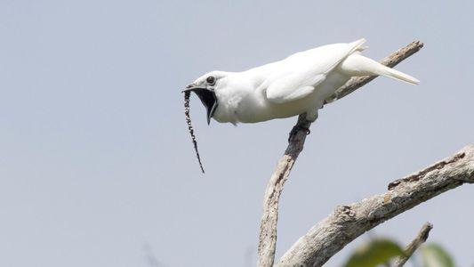 Así suena el canto del pájaro más ruidoso del mundo