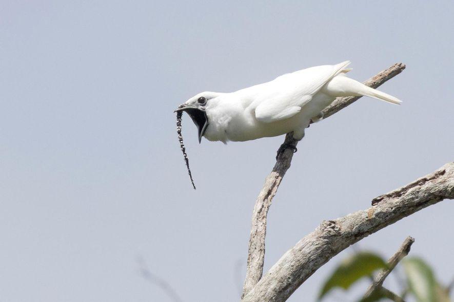 Un campanero blanco macho emite un grito de apareamiento. Estos pájaros potencian el cortejo extendiendo una papada negra, que sobresale desde la mandíbula.