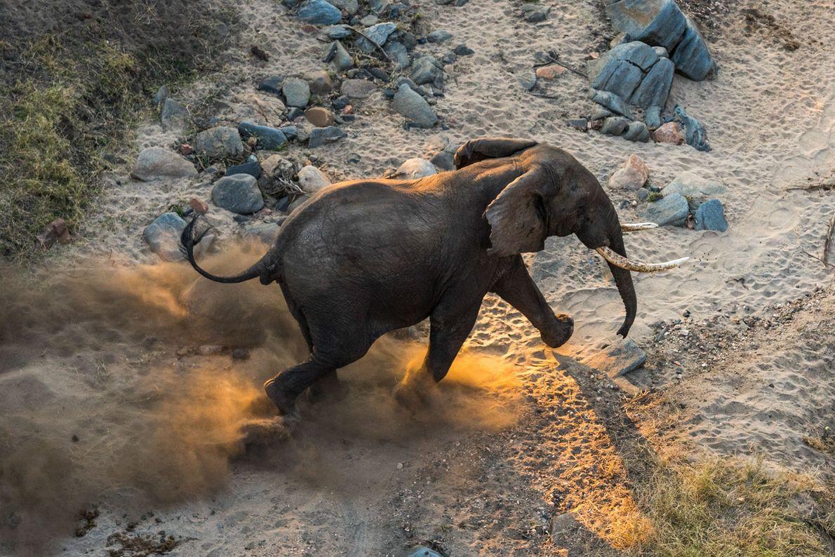 Un elefante macho junto a la orilla del río Shire en la Reserva de vida silvestre ...