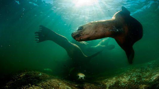 Un virus mortal se propaga entre los mamíferos marinos ante el derretimiento del hielo ártico