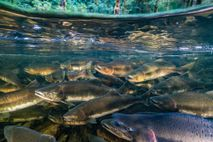 Fotografía de un salmón real