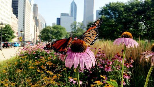 Las mariposas monarca están extinguiéndose: ¿cómo pueden ayudarlas las ciudades?
