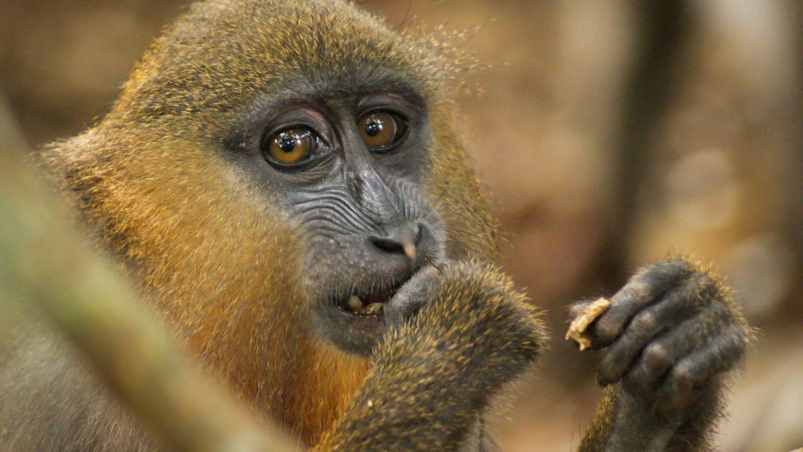 Los monos huelen excrementos