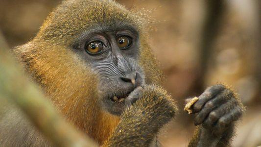 Oler excrementos contribuye a la buena salud de los mandriles