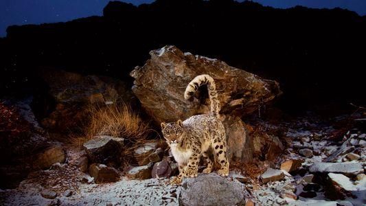 Estos animales prosperan en condiciones montañosas extremas