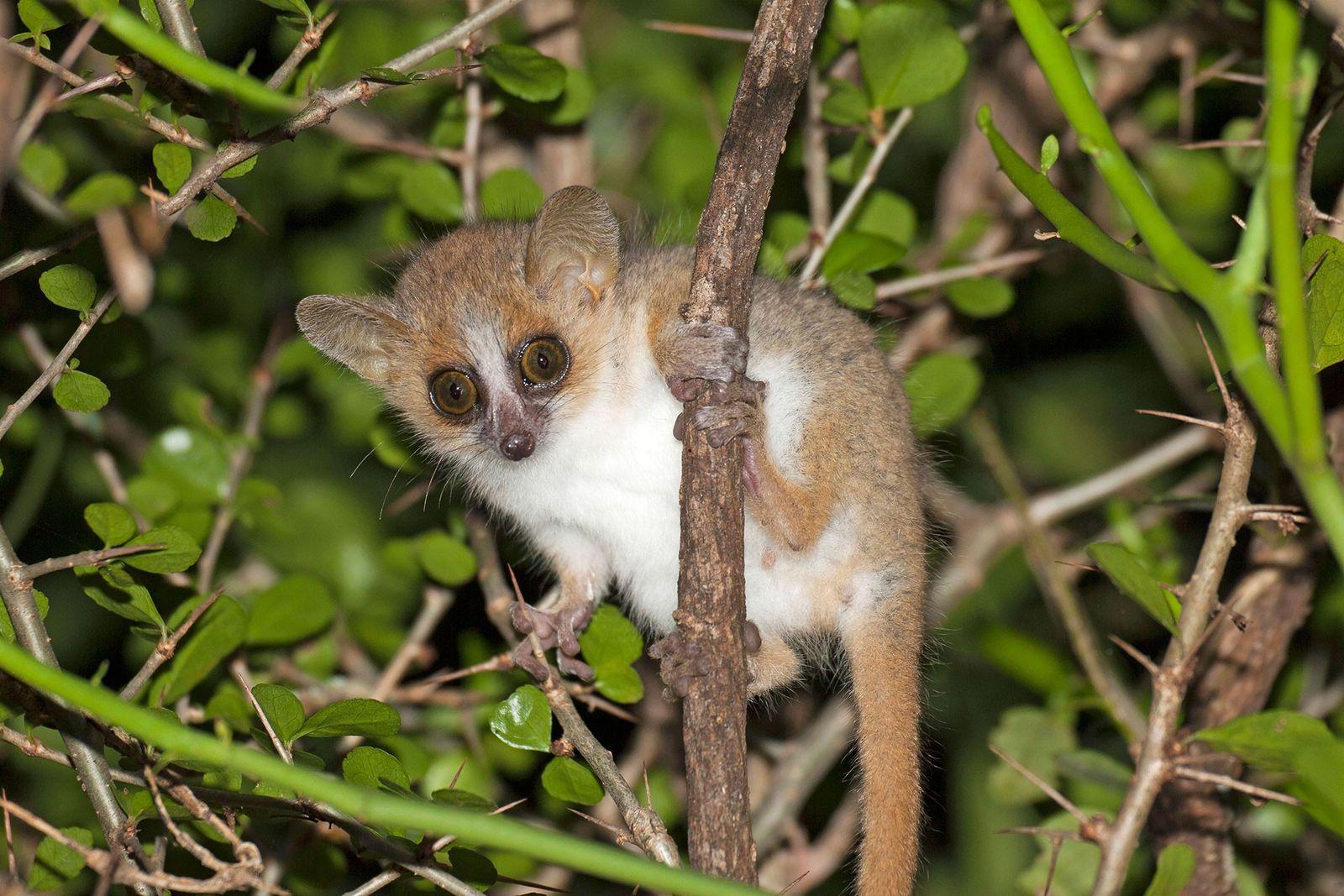 Un lémur ratón gris rojizo