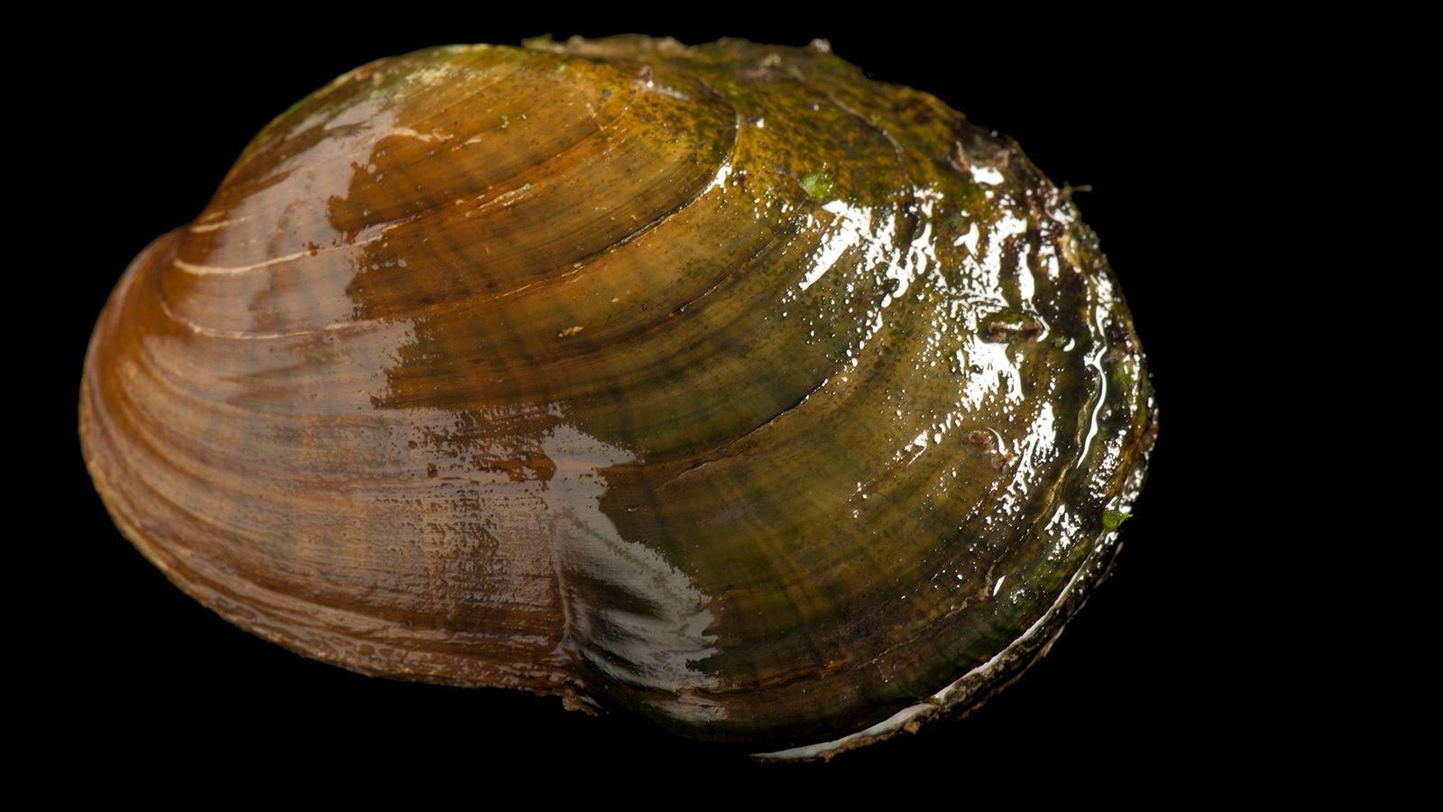 Epioblasma capsaeformis