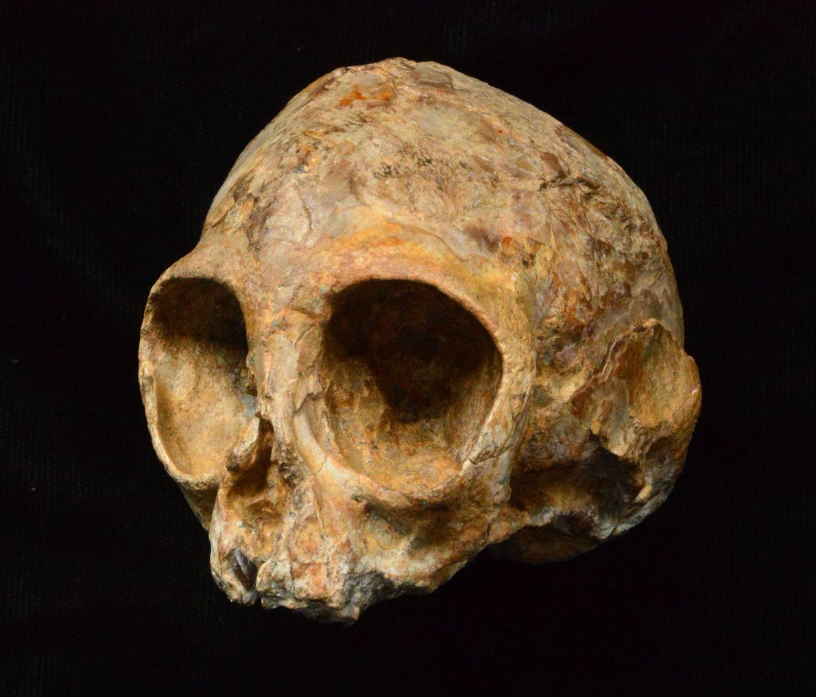 Cráneo del simio