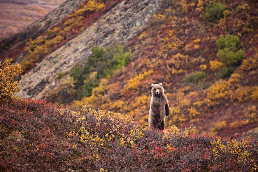 En el parque nacional de Denali, el otoño es la época perfecta para observar animales salvajes, ...