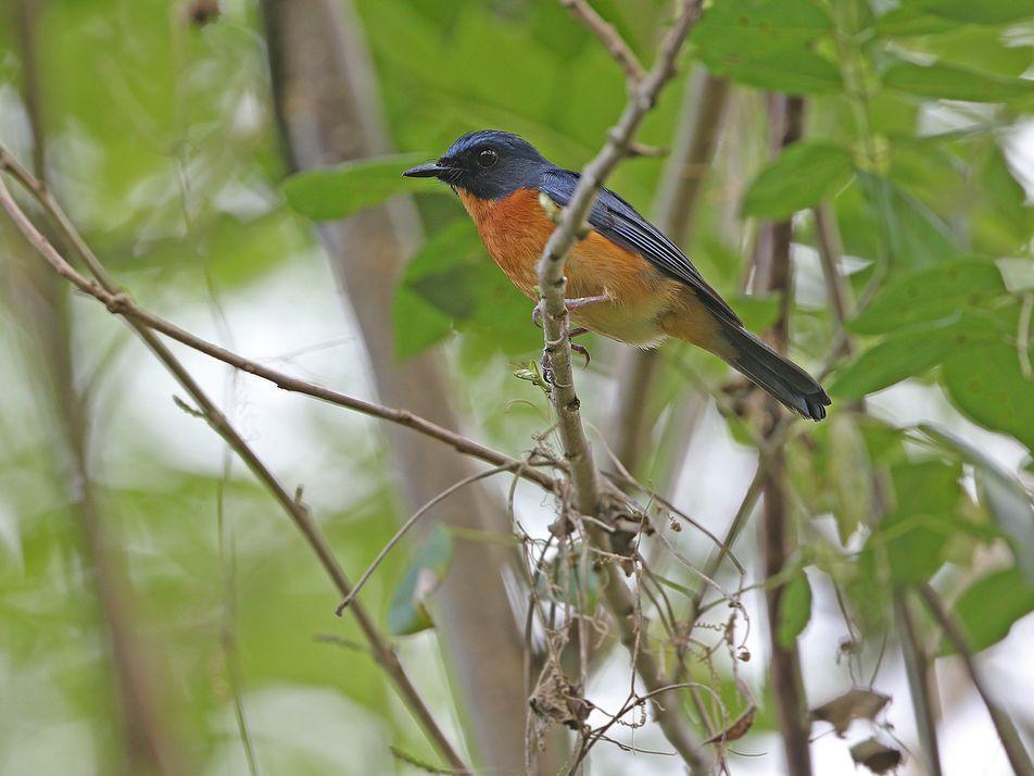 Descubren 10 nuevas especies y subespecies de aves en varias islas indonesias