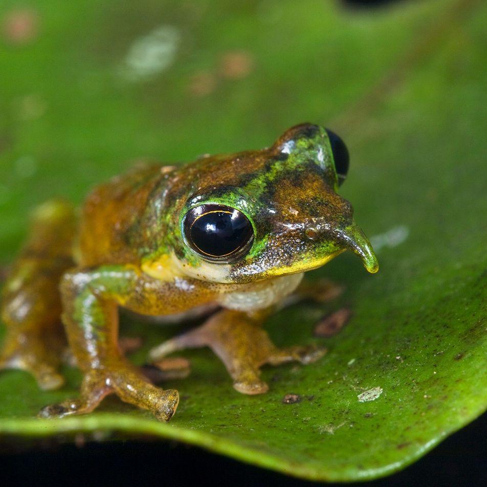 Esta nueva especie de rana pinocho tiene una extraña nariz puntiaguda
