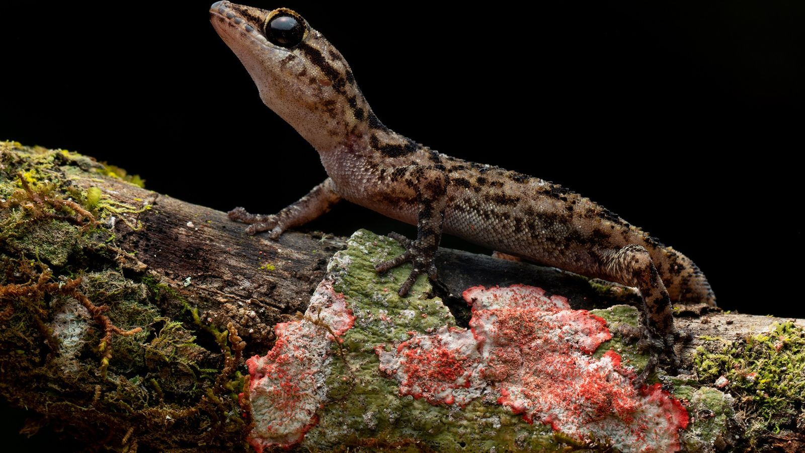Phyllodactylus andysabini