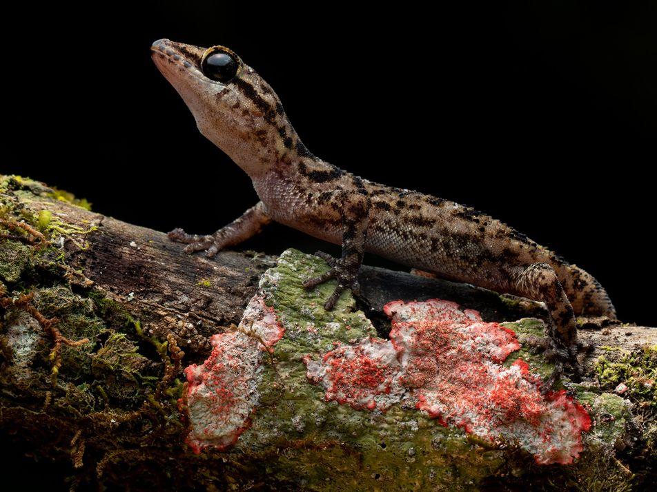 Hallan nuevas especies de geckos en un volcán remoto de las Galápagos