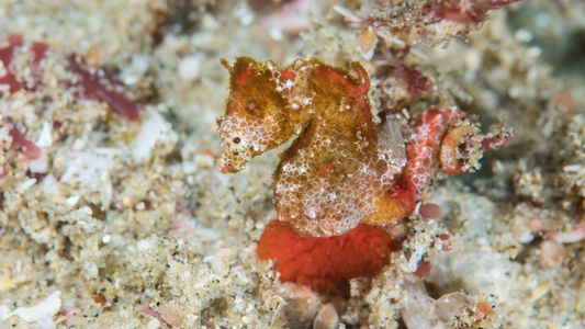 Descubren una nueva especie de caballito de mar pigmeo, la primera de este tipo en África