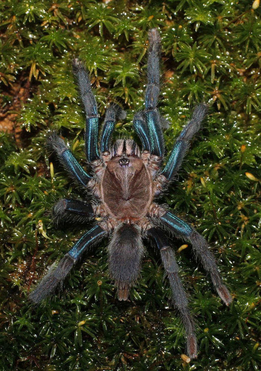 Las hembras de la nueva especie tienen patas de color azul intenso, mientras que los machos son de color marrón.