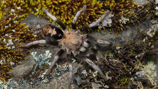 Descubren nuevas especies de tarántulas a altitudes sin precedentes
