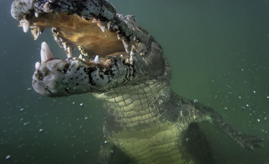 Un cocodrilo del Nilo curioso examina una cámara remota en el lago Turkana de Kenia.