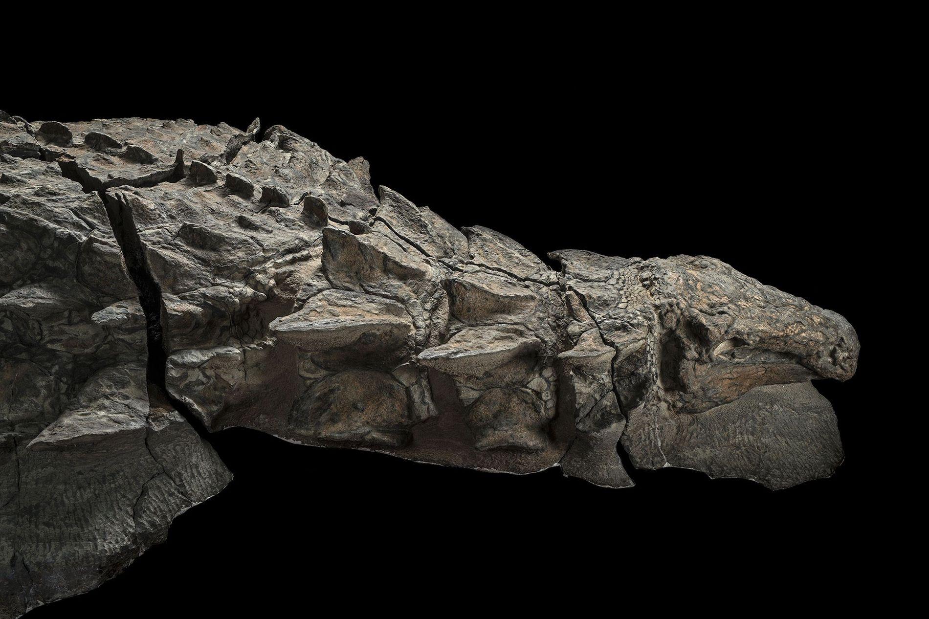 Una imagen del lado derecho del dinosaurio Borealopelta markmitchelli. El fósil descubierto accidentalmente por mineros de Alberta es el nodosaurio anquilosaurio en mejor estado de conservación.