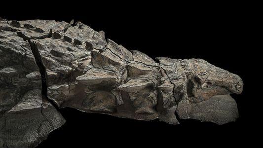 La armadura de este dinosaurio podría haber servido para el cortejo y la lucha