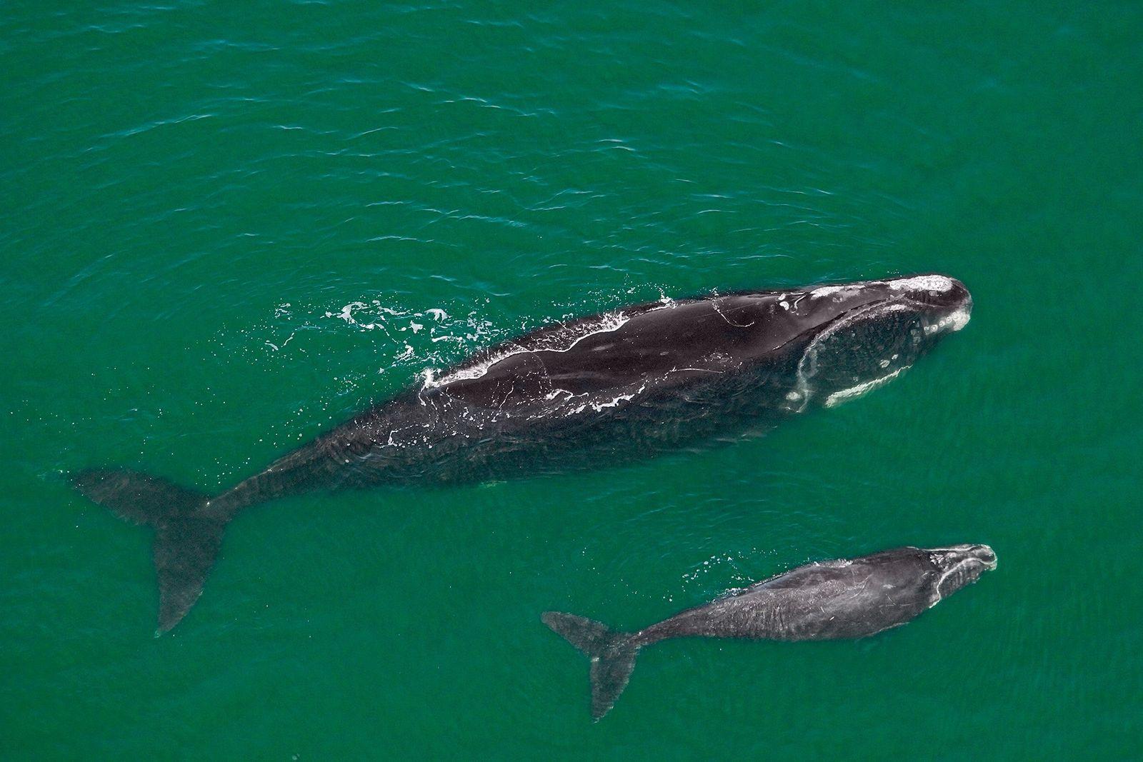 Una ballena franca glacial y su cría