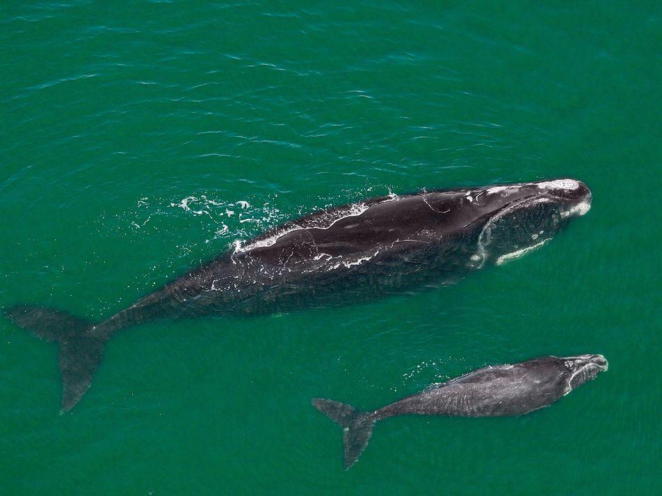 Estas ballenas amenazadas están demasiado delgadas, algo que preocupa a los expertos
