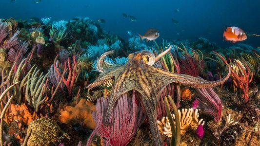 La demanda de pulpo aumenta: ¿es ética la acuicultura de este cefalópodo?
